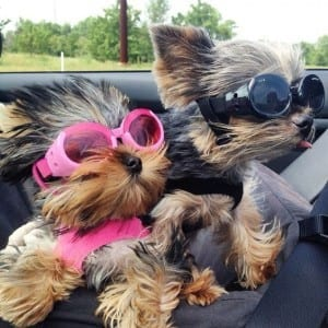 goggles for your dog doggles